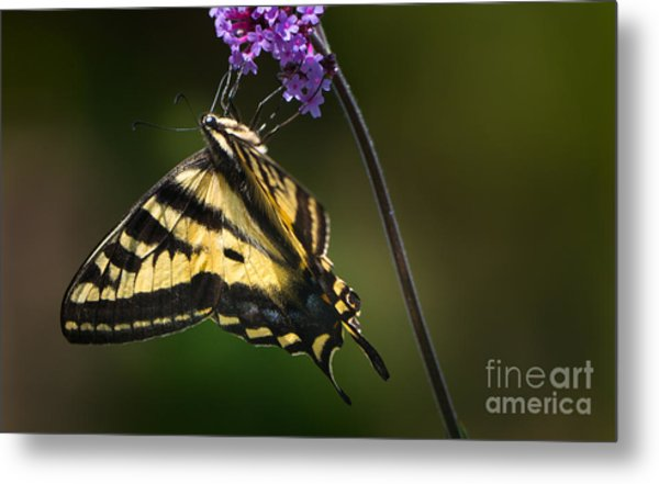Western Tiger Swallowtail Butterfly On Purble Verbena Metal Print