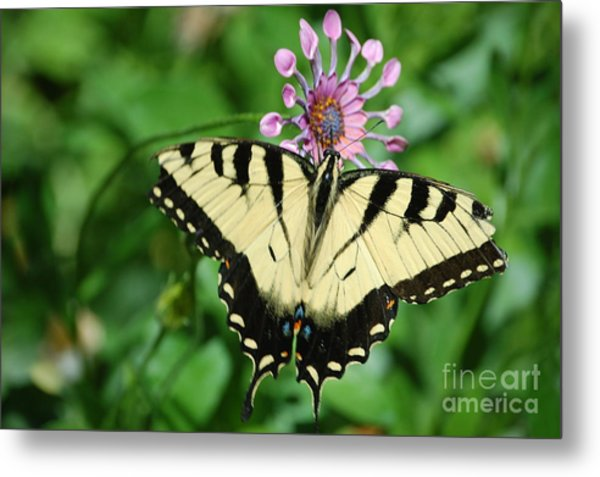 Western Tiger Swallowtail Metal Print