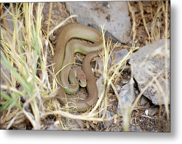 Western Yellow-bellied Racer, Coluber Constrictor Metal Print