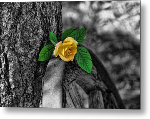Western Yellow Rose Two Tone Metal Print