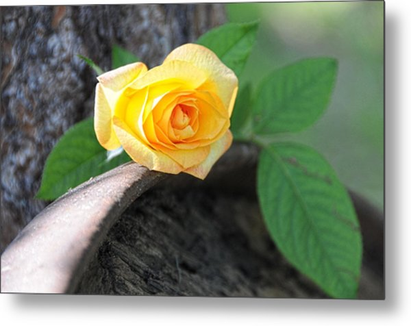 Western Yellow Rose Vi Metal Print
