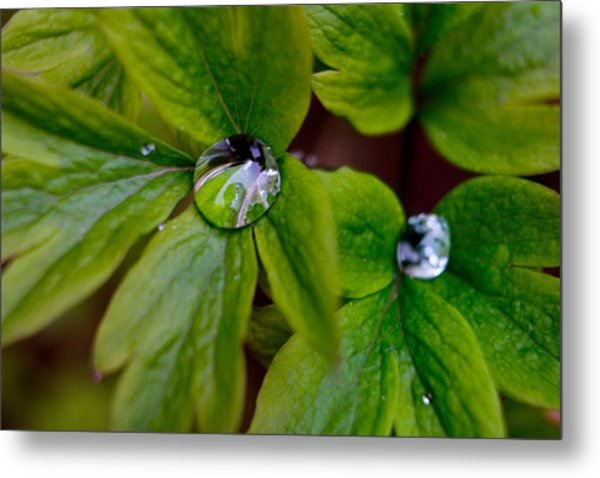 Wet Bleeding Heart Leaves Metal Print