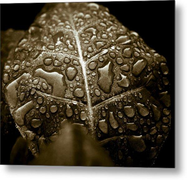 Wet Havana Tobacco Leaf Metal Print by Frank Tschakert