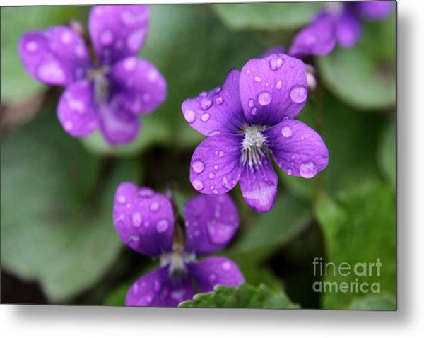 Wet Purple Violets Metal Print by Chris Hill