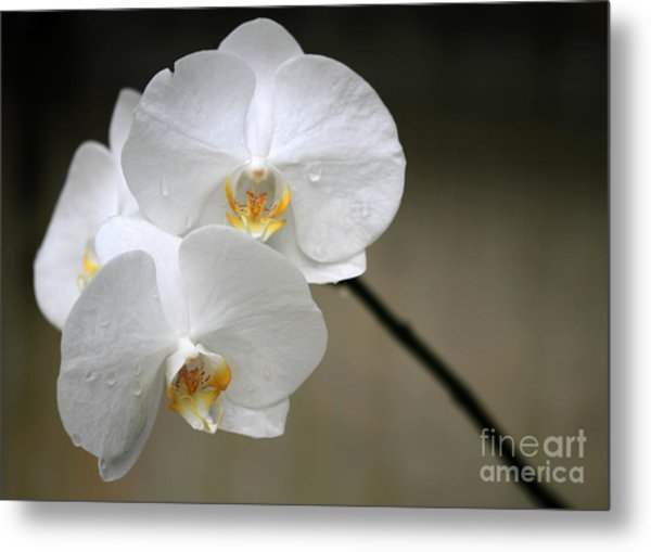 Wet White Orchids Metal Print