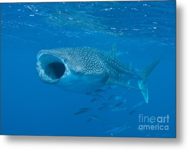 Whale Shark, Ari And Male Atoll Metal Print
