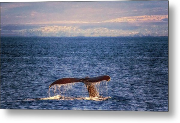 Metal Print featuring the photograph Whale Tail by Susan Rissi Tregoning