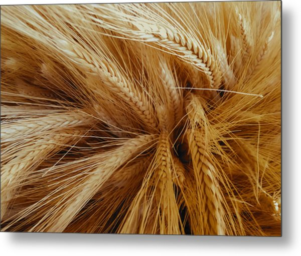Wheat In The Sunset Metal Print