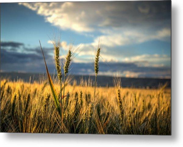 Wheat's Up Metal Print