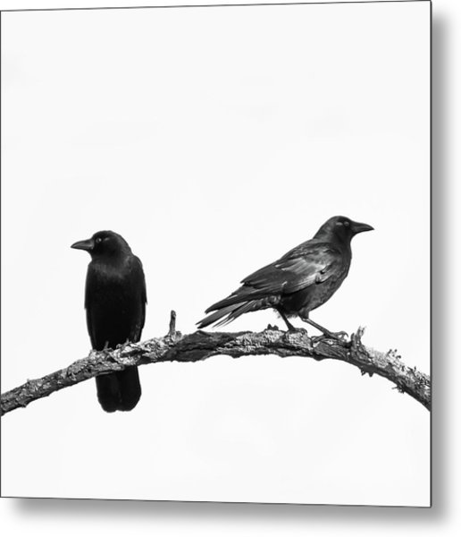 Which Way Two Black Crows On White Square Metal Print