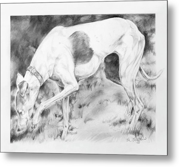 Whippet Searching Metal Print