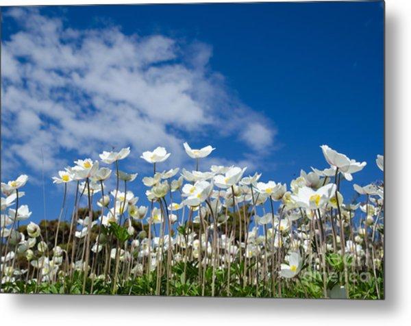 White Anemones At Blue Sky Metal Print