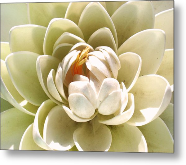 White Blooming Lotus Metal Print
