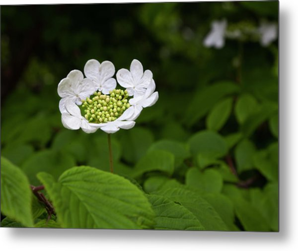 White Blossom Metal Print by Robert Ullmann
