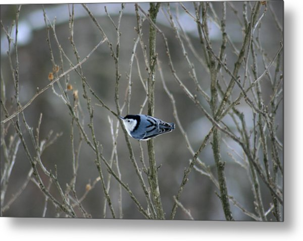 White Breasted Nuthatch 3 Metal Print by George Jones