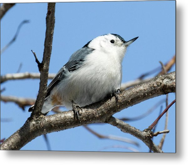 White-breasted Nuthatch Perched Metal Print