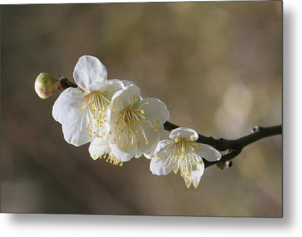White Cherry Flower Metal Print