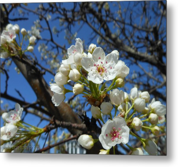 White Blossoms Blooming Metal Print
