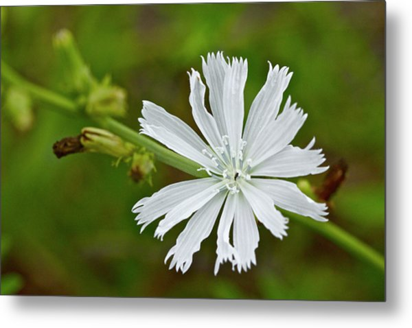 White Chicory  Rare Color Phase   Cichorium Intybus Metal Print