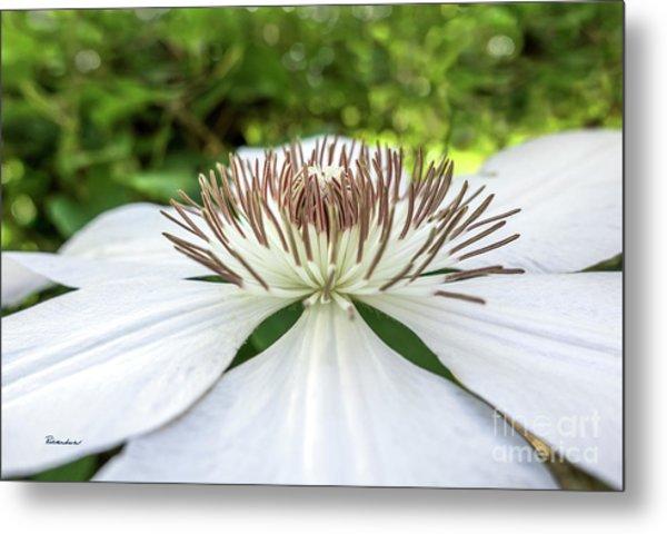 White Clematis Flower Garden 50146 Metal Print