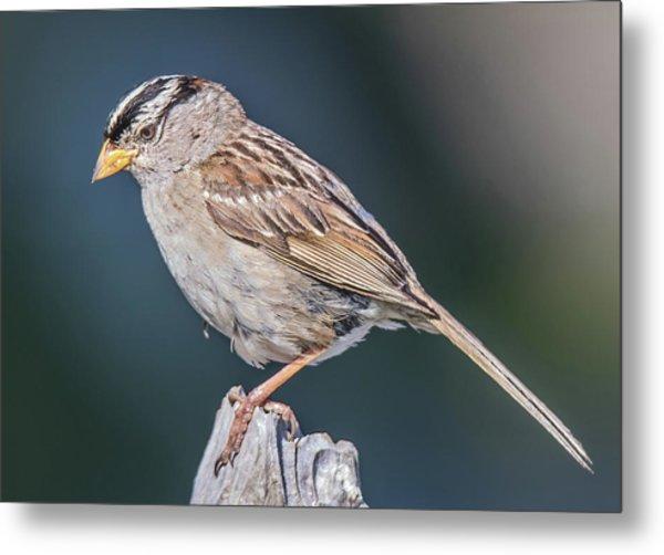 White-crowned Sparrow Metal Print by Carl Olsen