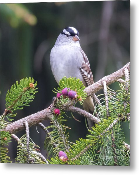 White-crowned Sparrow Metal Print by Ricky L Jones