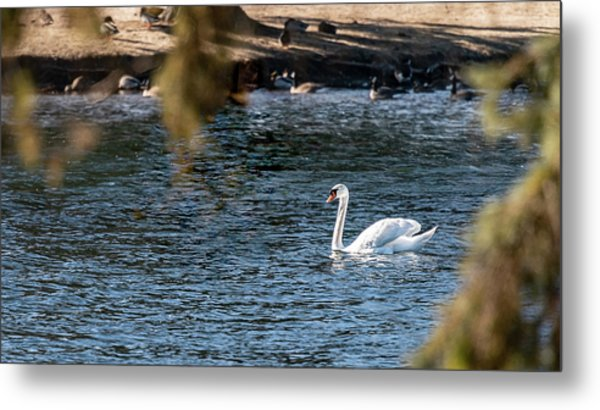 Metal Print featuring the photograph White Duck by Onyonet  Photo Studios