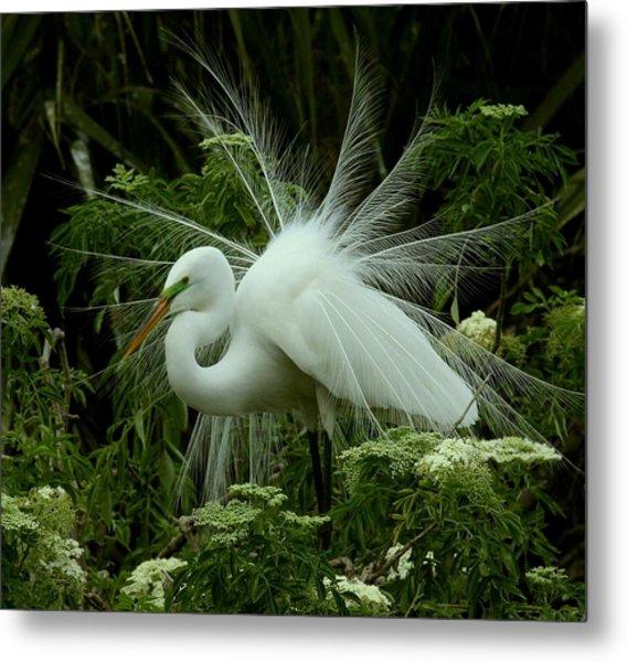 White Egret Displaying Metal Print