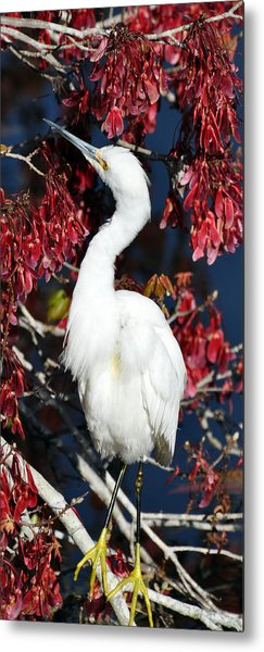 White Egret In Red Maple Tree Metal Print