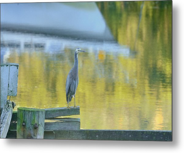 White Faced Heron With Reflections Metal Print by Barry Culling