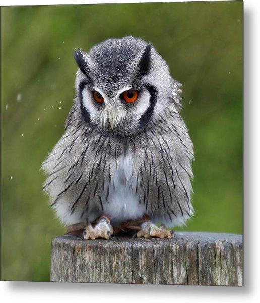 White Faced Owl Metal Print