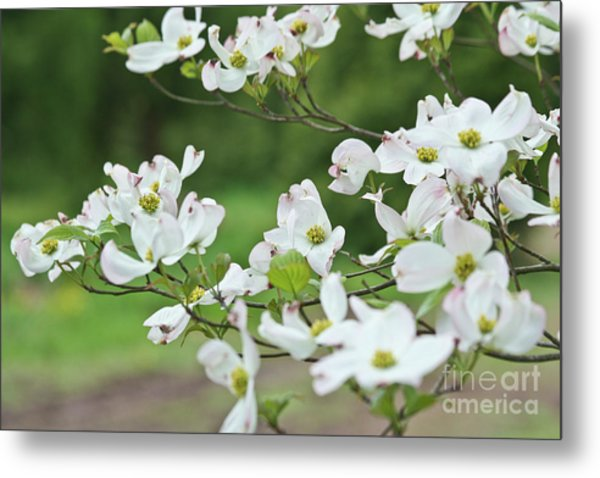 White Flowering Dogwood Metal Print