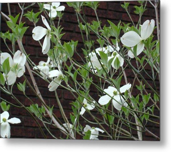 White Flowering Dogwood Metal Print