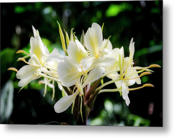 White Hawaiian Flowers Metal Print