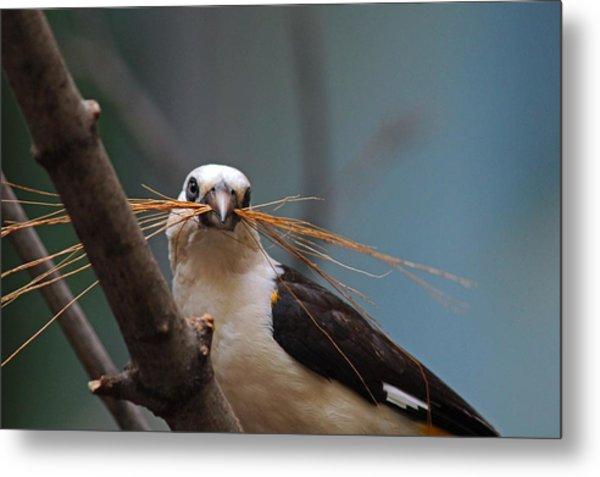 White-headed Buffalo Weaver Metal Print