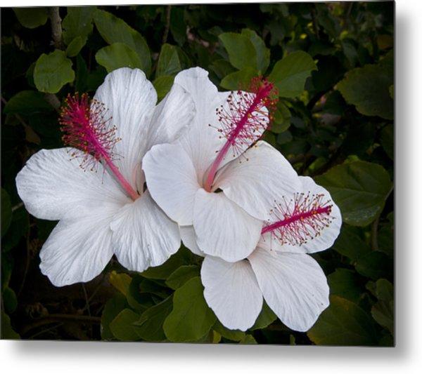 White Hibiscus Trio Metal Print