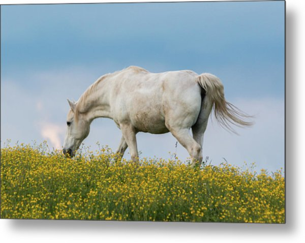 White Horse Of Cataloochee Ranch 2 - May 30 2017 Metal Print