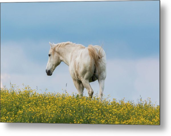 White Horse Of Cataloochee Ranch - May 30 2017 Metal Print