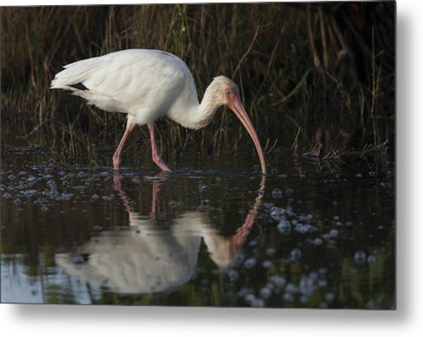 White Ibis Feeding In Morning Light Metal Print
