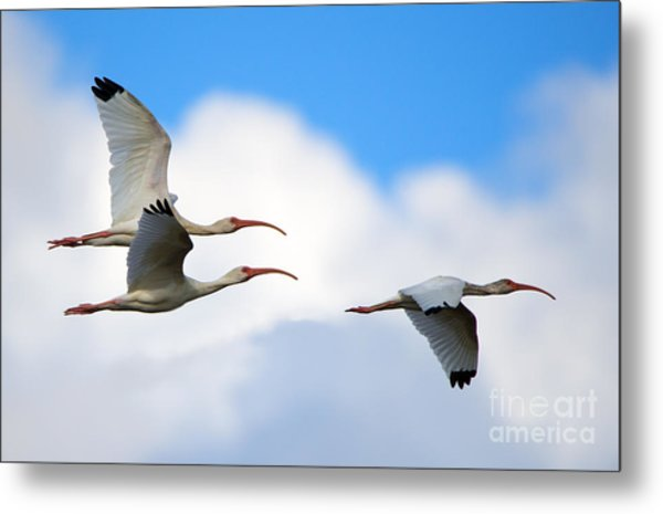 White Ibis Flock Metal Print