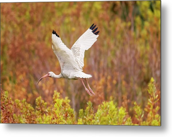 White Ibis In Hilton Head Island Metal Print