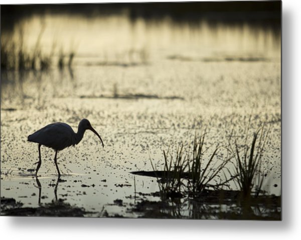 White Ibis Morning Hunt Metal Print