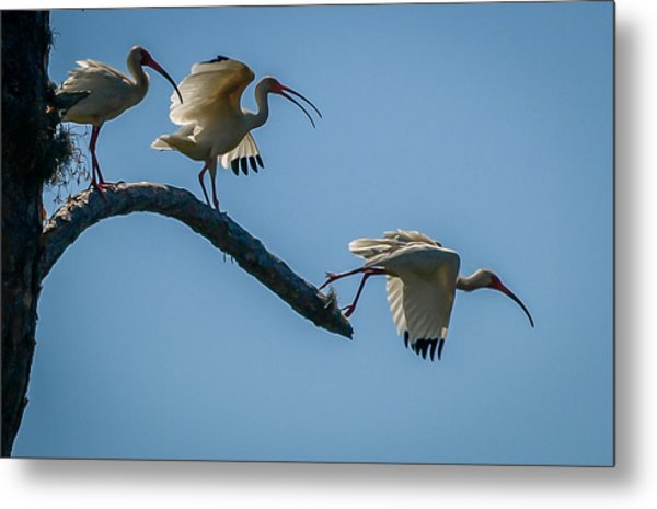 White Ibis Takeoff Metal Print
