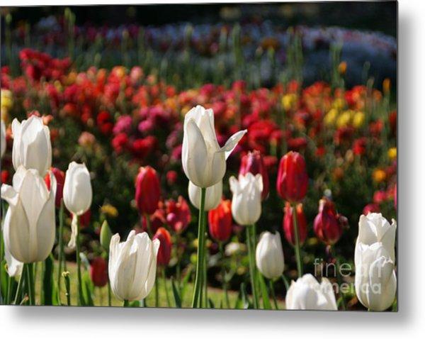 White Lit Tulips Metal Print
