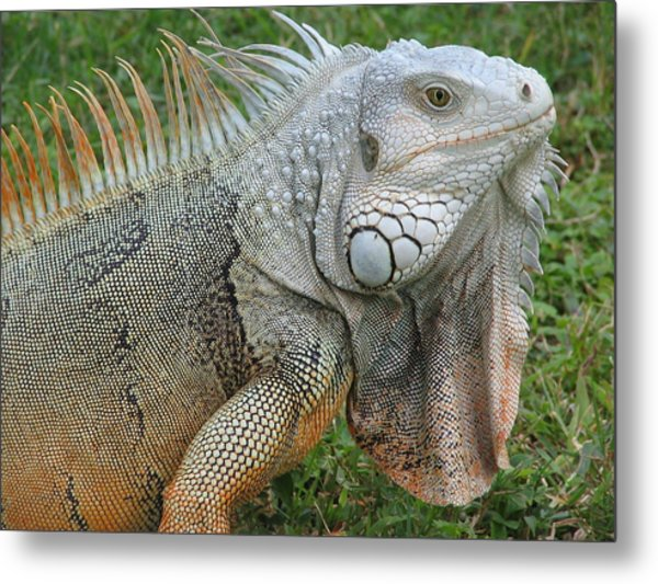 White Lizard Metal Print