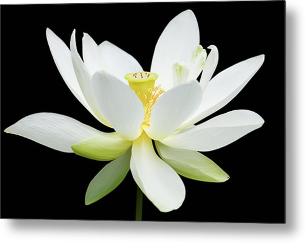 White Lotus On Black Metal Print