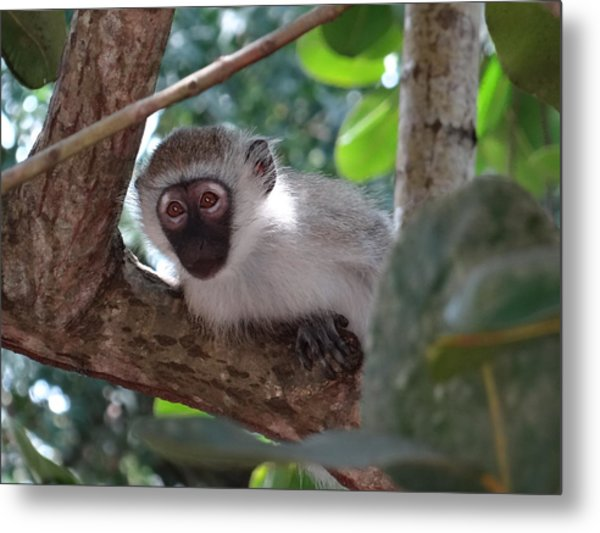 White Monkey In A Tree 2 Metal Print