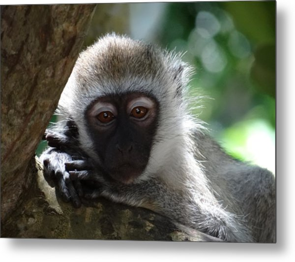 White Monkey In A Tree 3 Metal Print