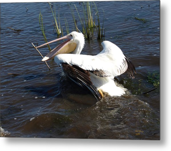 White Pelican In The Marsh Metal Print by Bill Perry