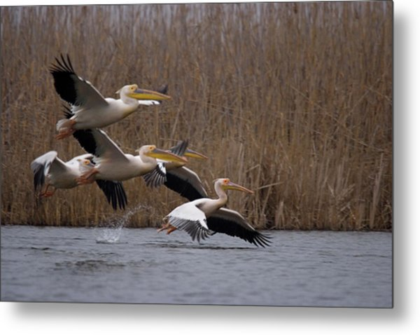 White Pelicans In Flight Over Lake Metal Print